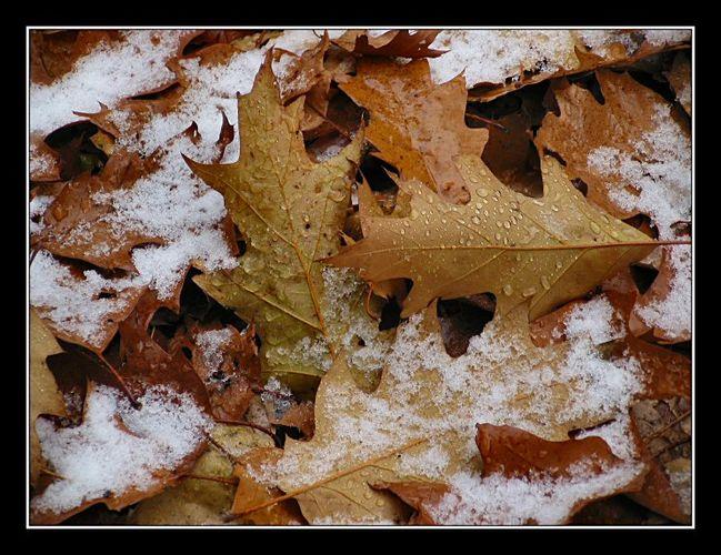 Melting snow on oak-leaves