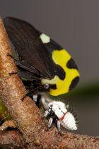 Membrecia Mexicanus (Mexikanischer Baumspringer)