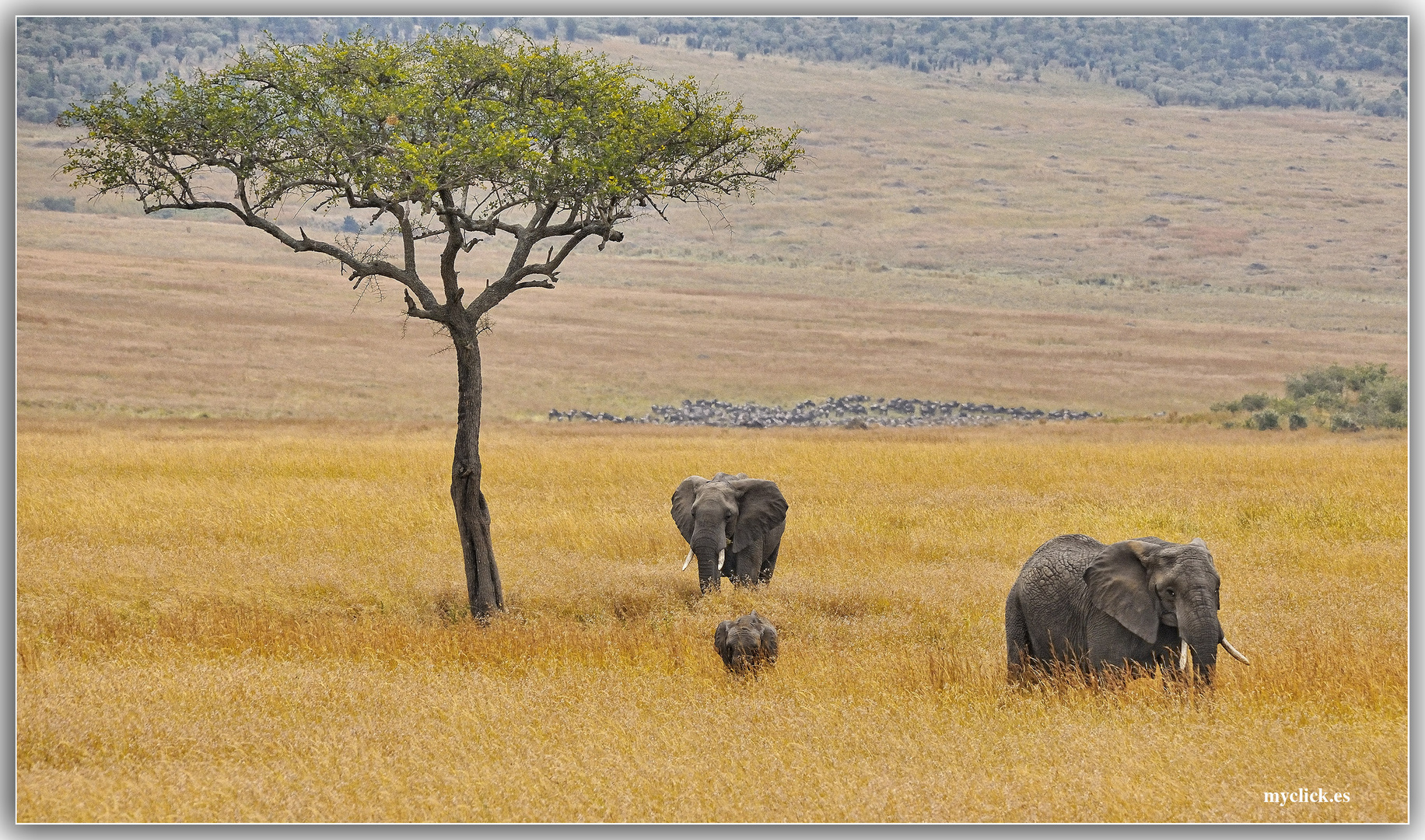 MEMORIAS DE AFRICA-ACACIA CON ELEFANTES-PN MASAI-MARA-KENIA