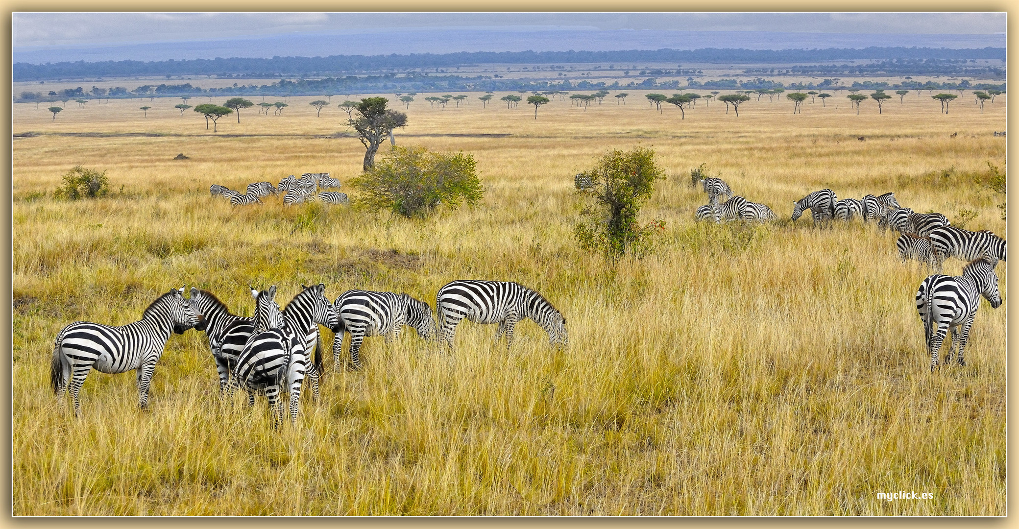 MEMORIAS DE AFRICA-CEBRAS EN LA SABANA -PN DE MASAI MARA -KENIA