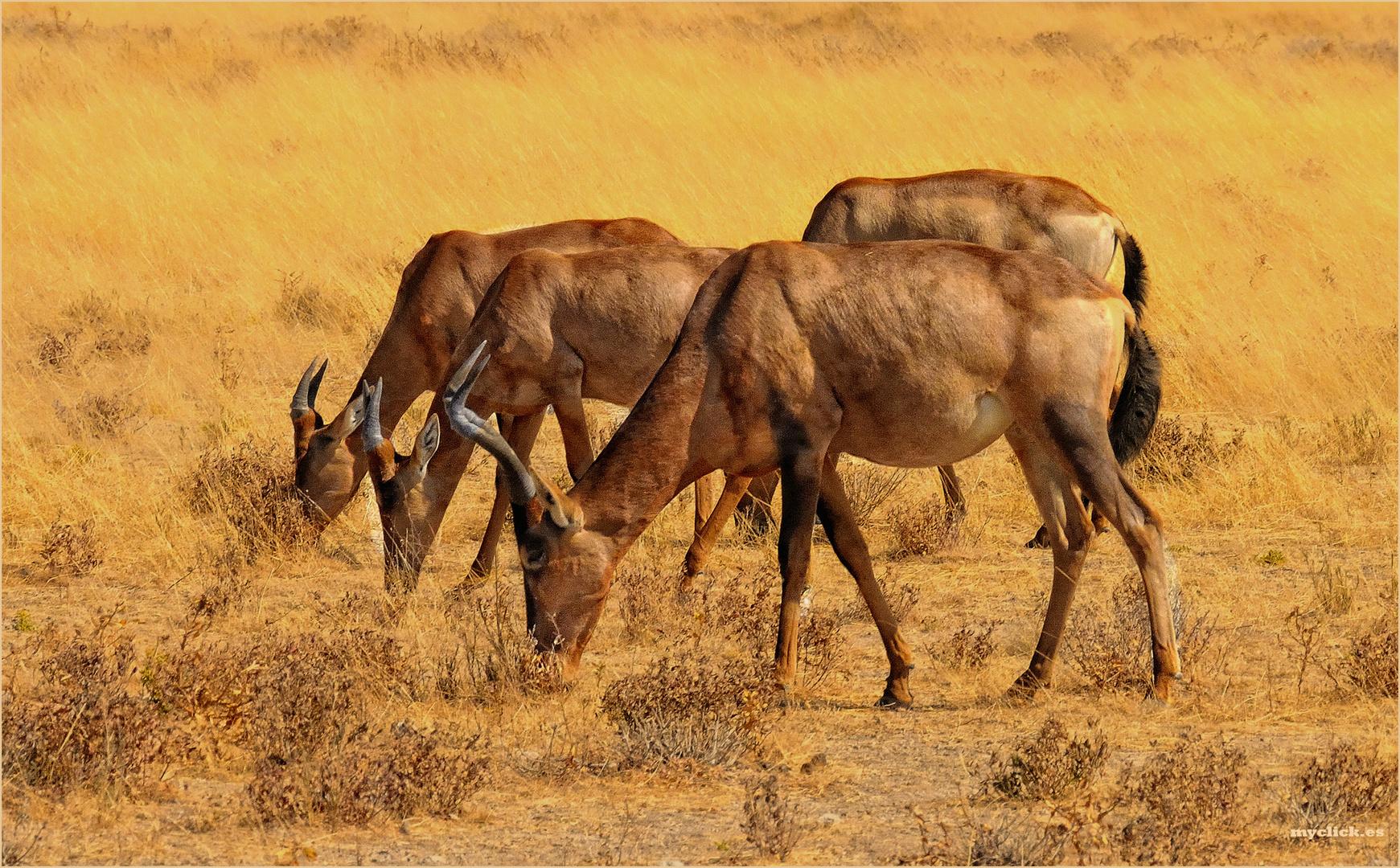 MEMORIAS DE AFRICA -CUATRO GACELAS 2-PN ETHOSA-NAMIBIA
