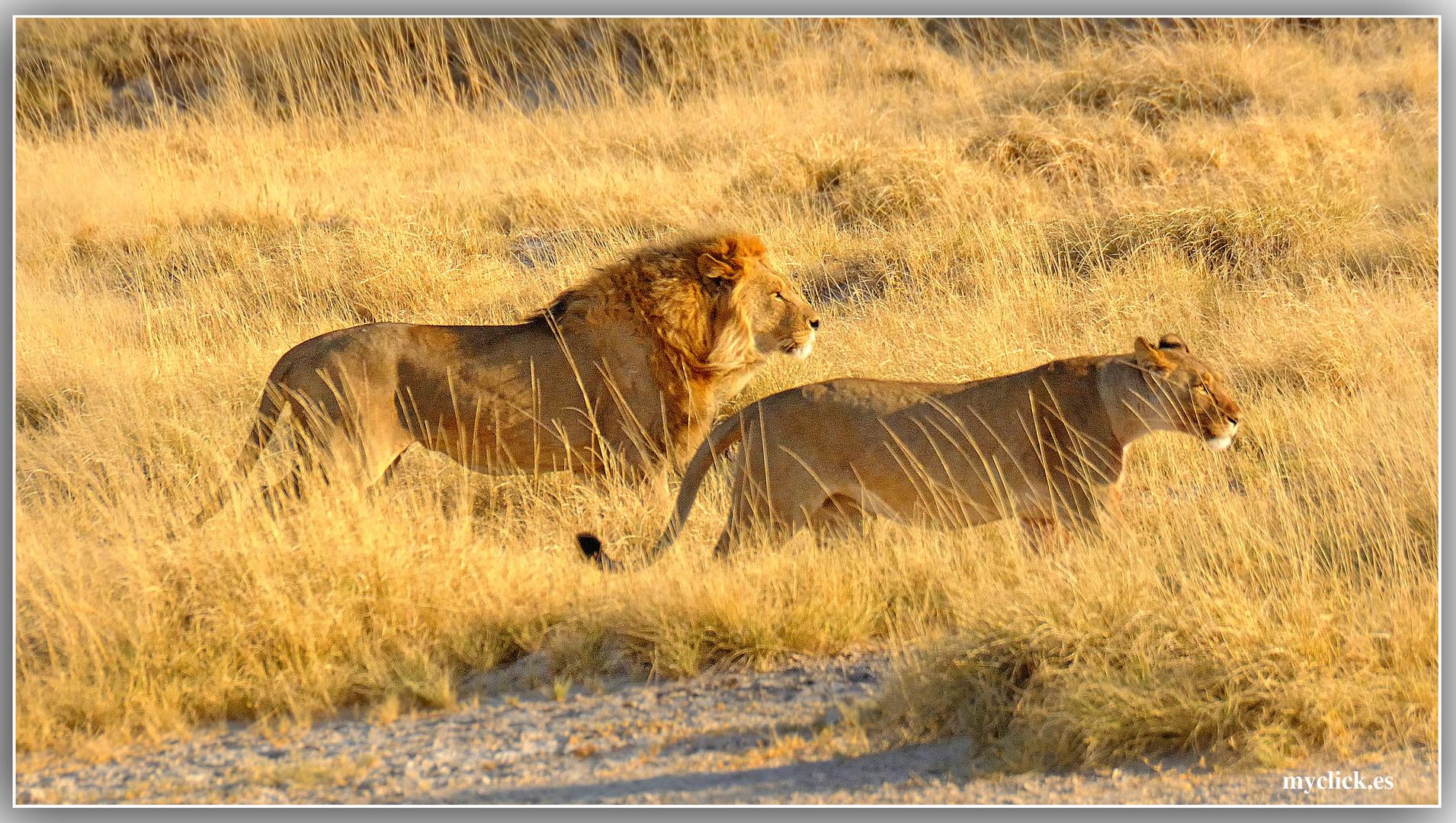 MEMORIAS DE AFRICA-DE CAZA PN DE ETHOSA -NAMIBIA