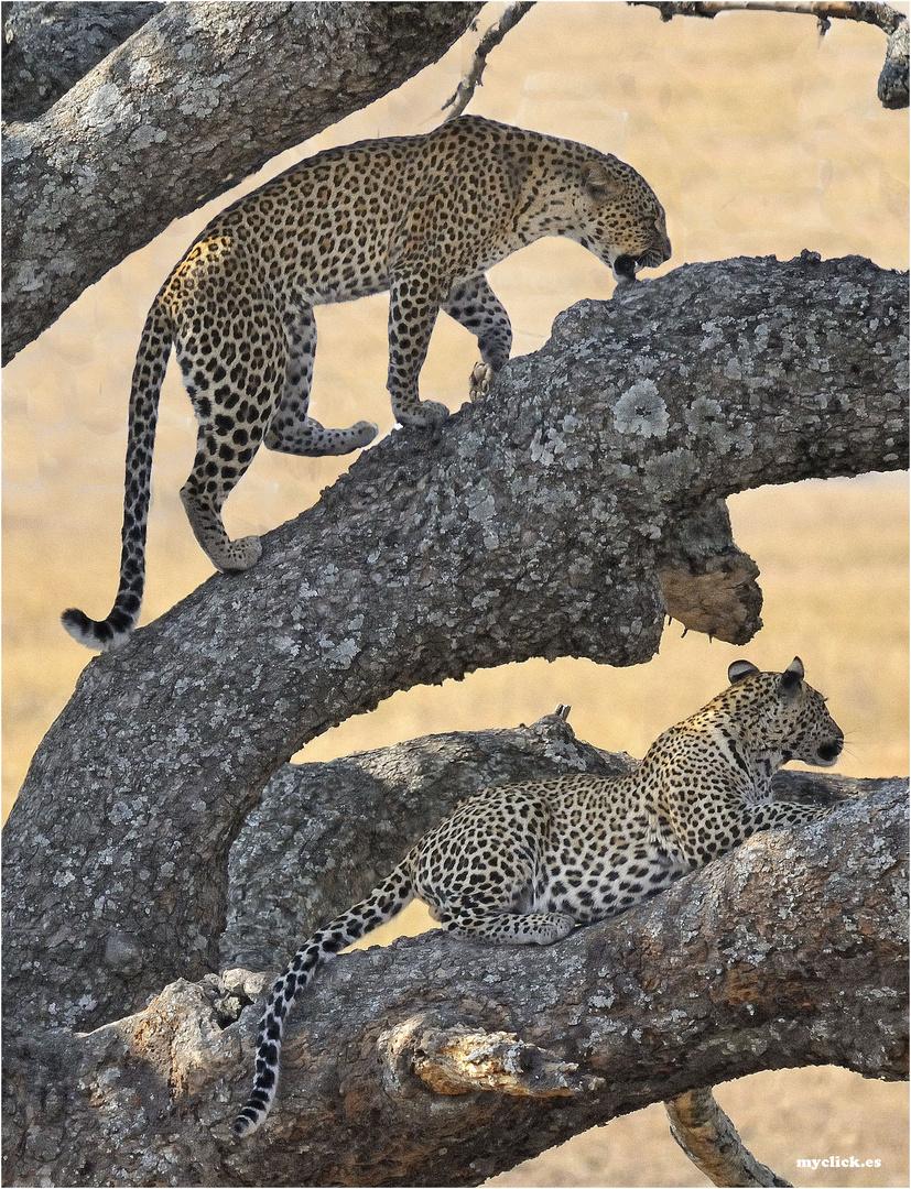 MEMORIAS DE AFRICA-DOS LEOPARDOS-2 -PN DEL SERENGUETI-TANZANIA