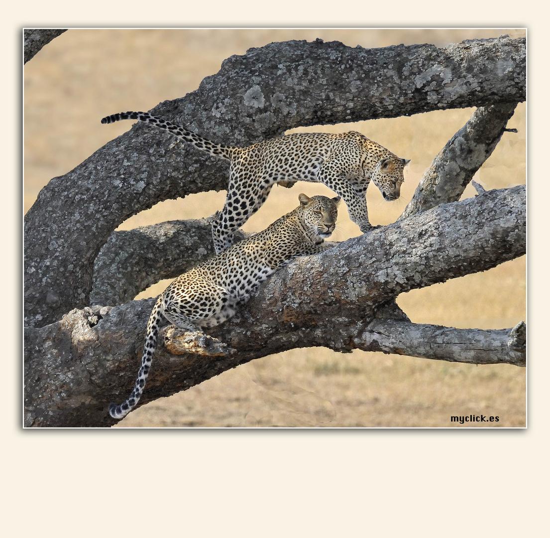 MEMORIAS DE AFRICA-DOS LEOPARDOS-PN DEL SERENGUETI-TANZANIA