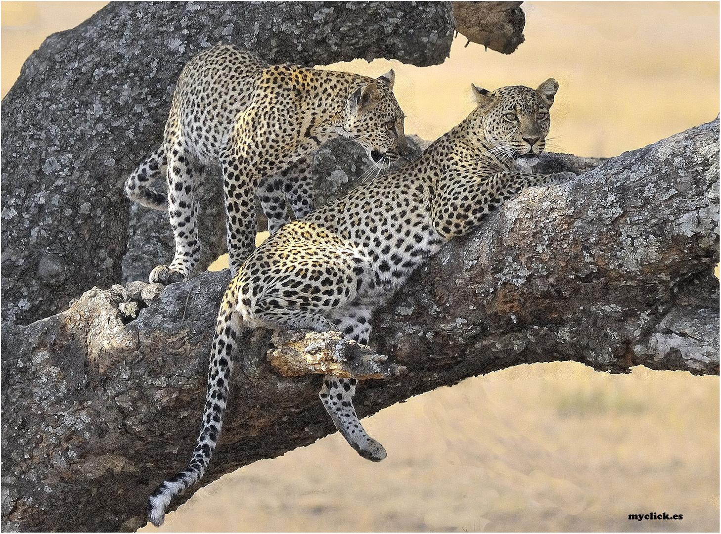 MEMORIAS DE AFRICA-DOS LEOPARDOS-PN DEL SERENGUETI -TANZANIA