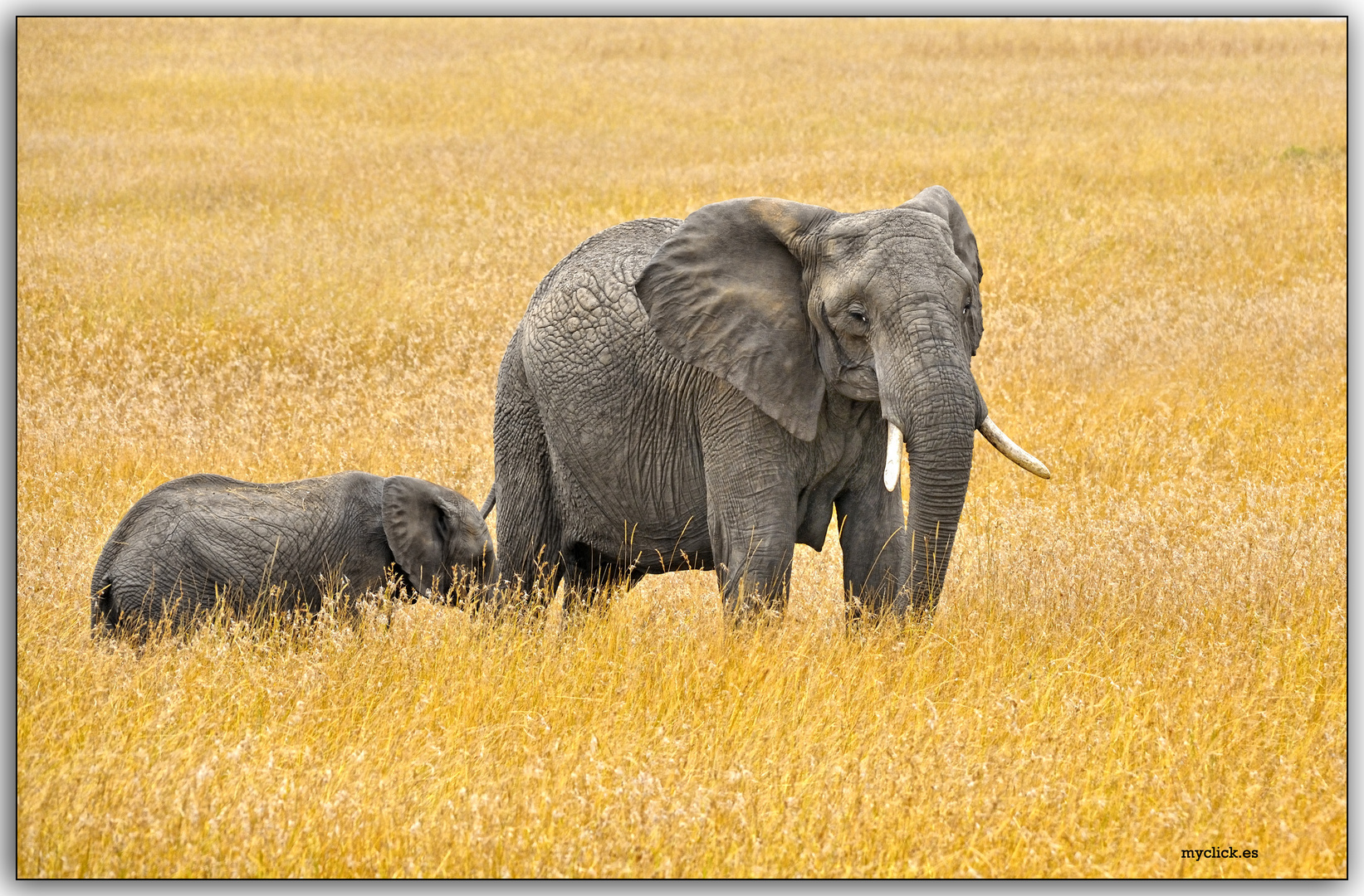 MEMORIAS DE AFRICA-LA MAMA ELEFANTE 2-PN DE MASAI MARA-KENIA