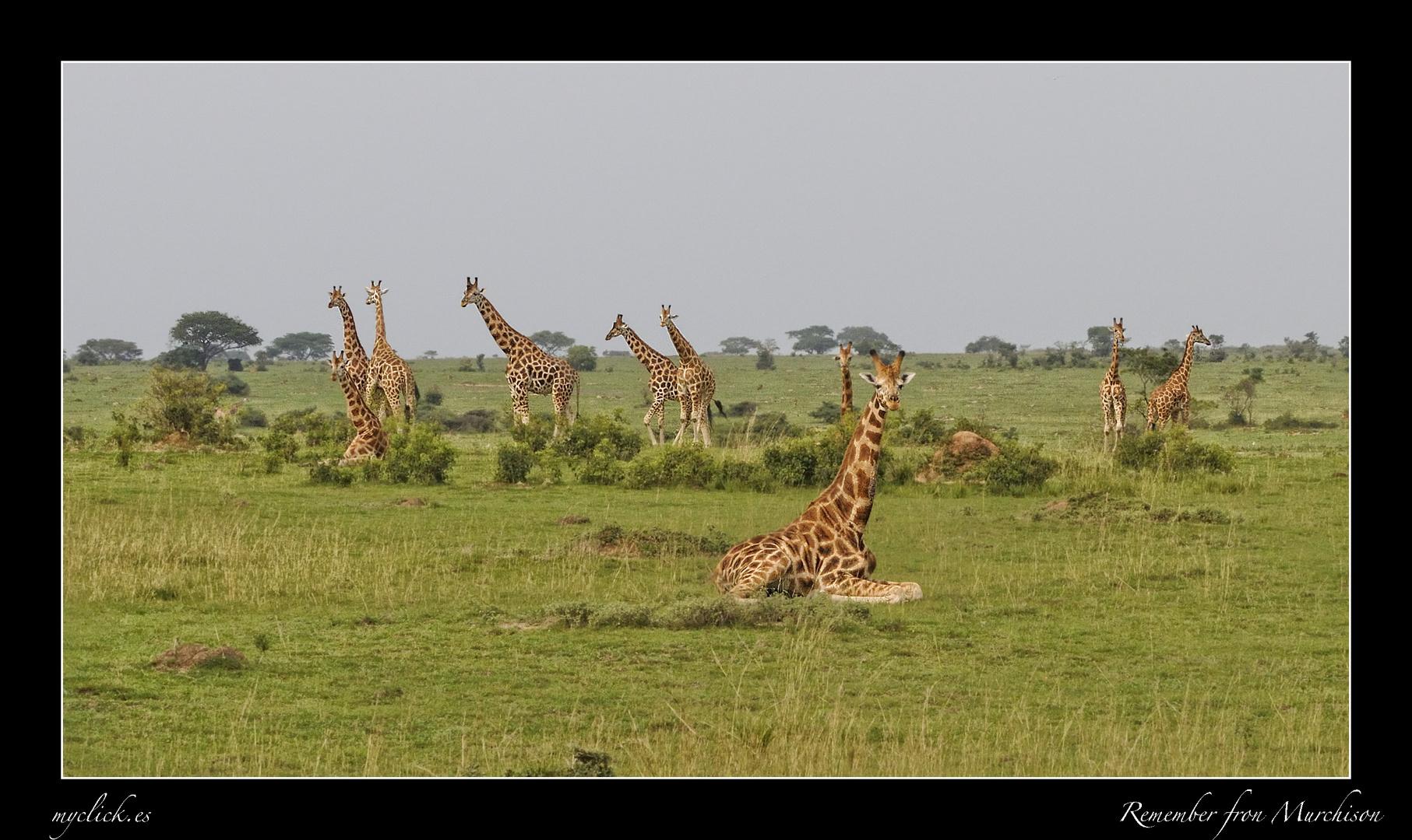 MEMORIAS DE AFRICA-REUNION DE JIRAFAS-MURCHISON FALLS UGANDA
