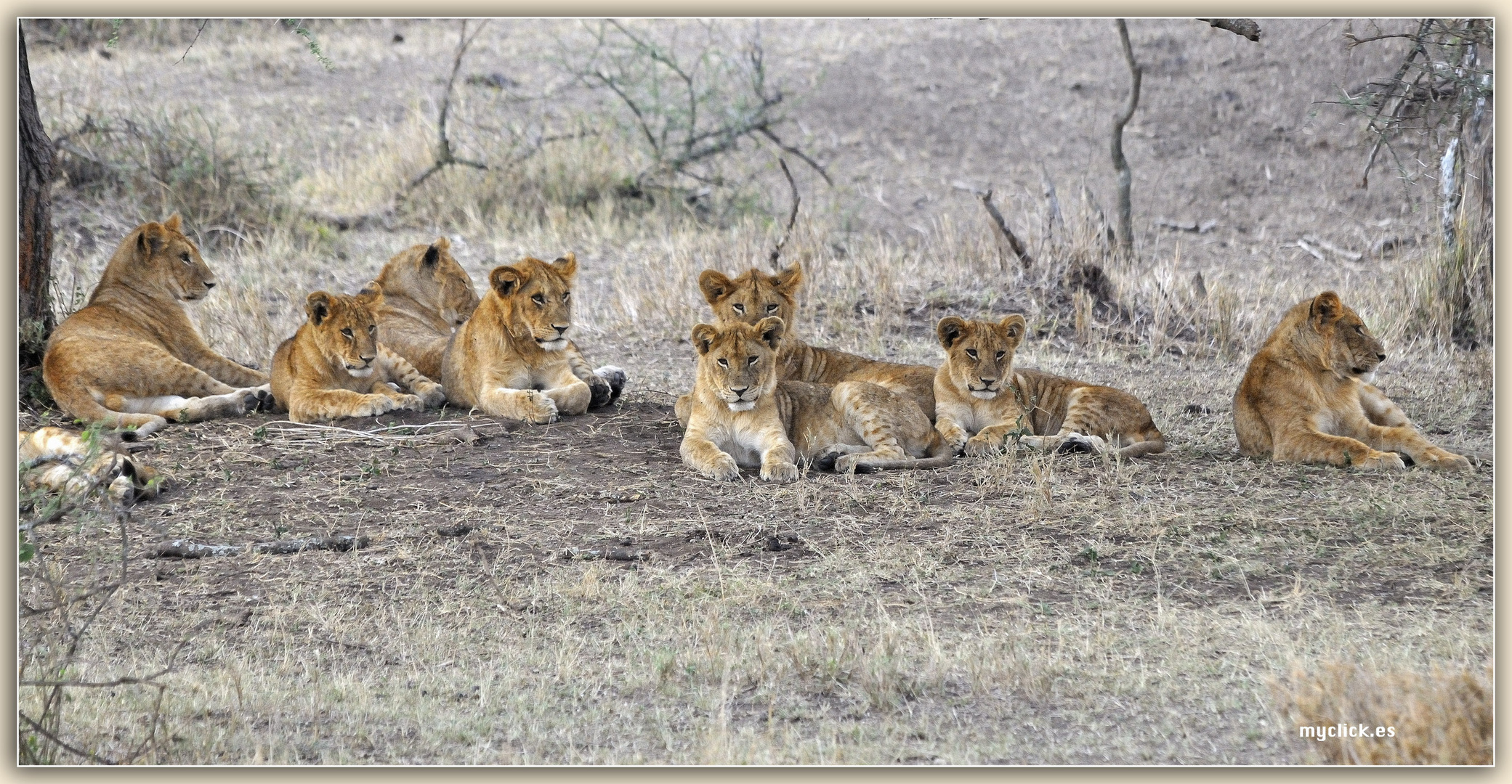 MEMORIAS DE AFRICA-UNOS LEONCILLOS-3 PN MASAI MARA -KENIA