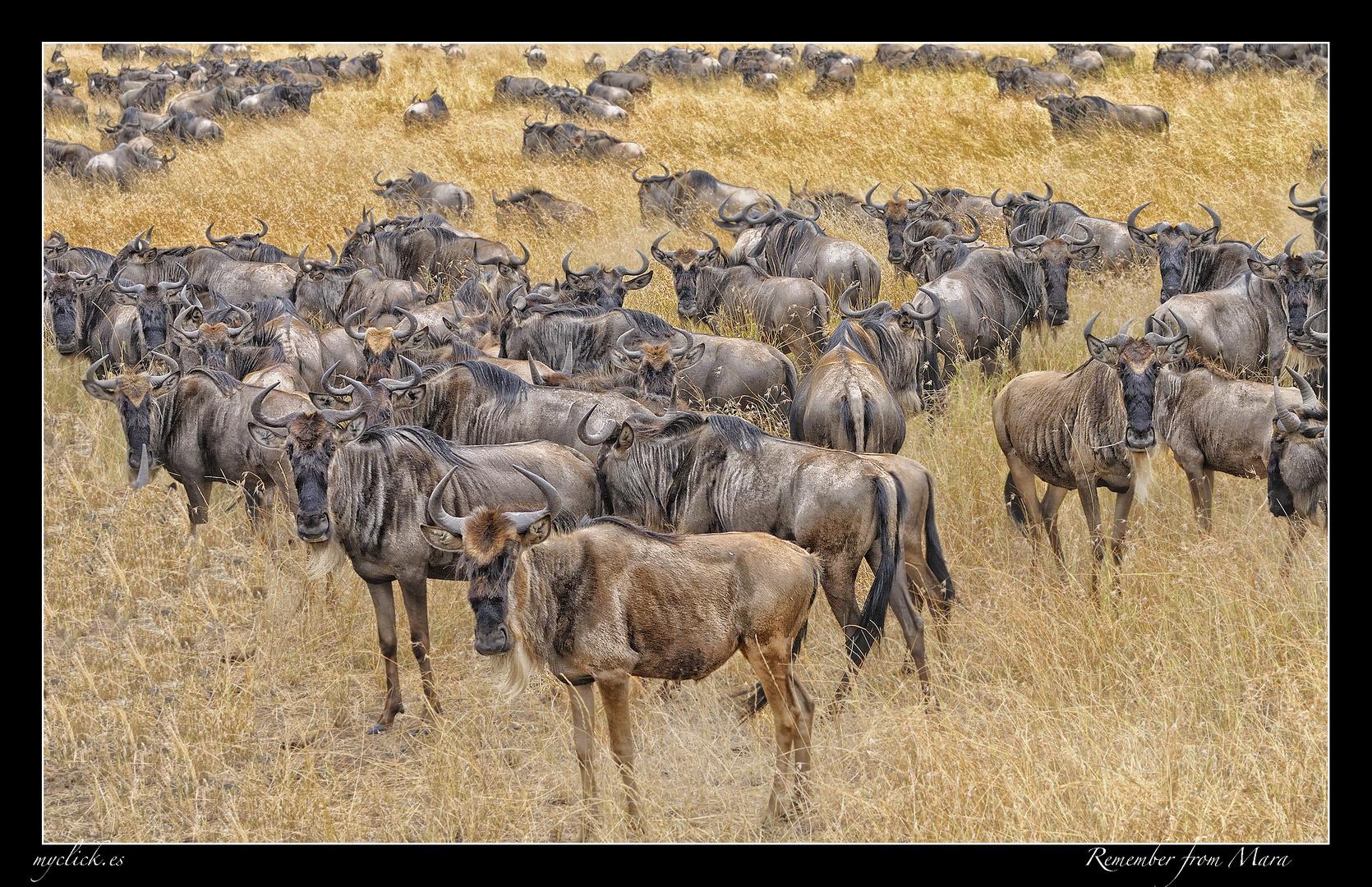 MEMORIAS DE AFRICA-UNOS ÑUS -PN MASAI MARA -KENIA