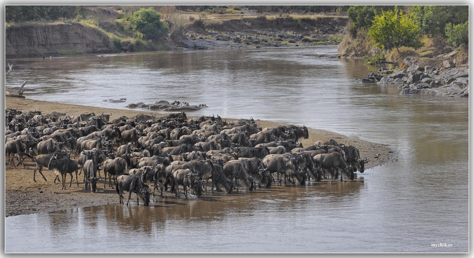 MEMORIAS DE AFRICA-ÑUS A ORILLAS DEL RIO MARA ESPERANDO CRUZARLO-KENIA