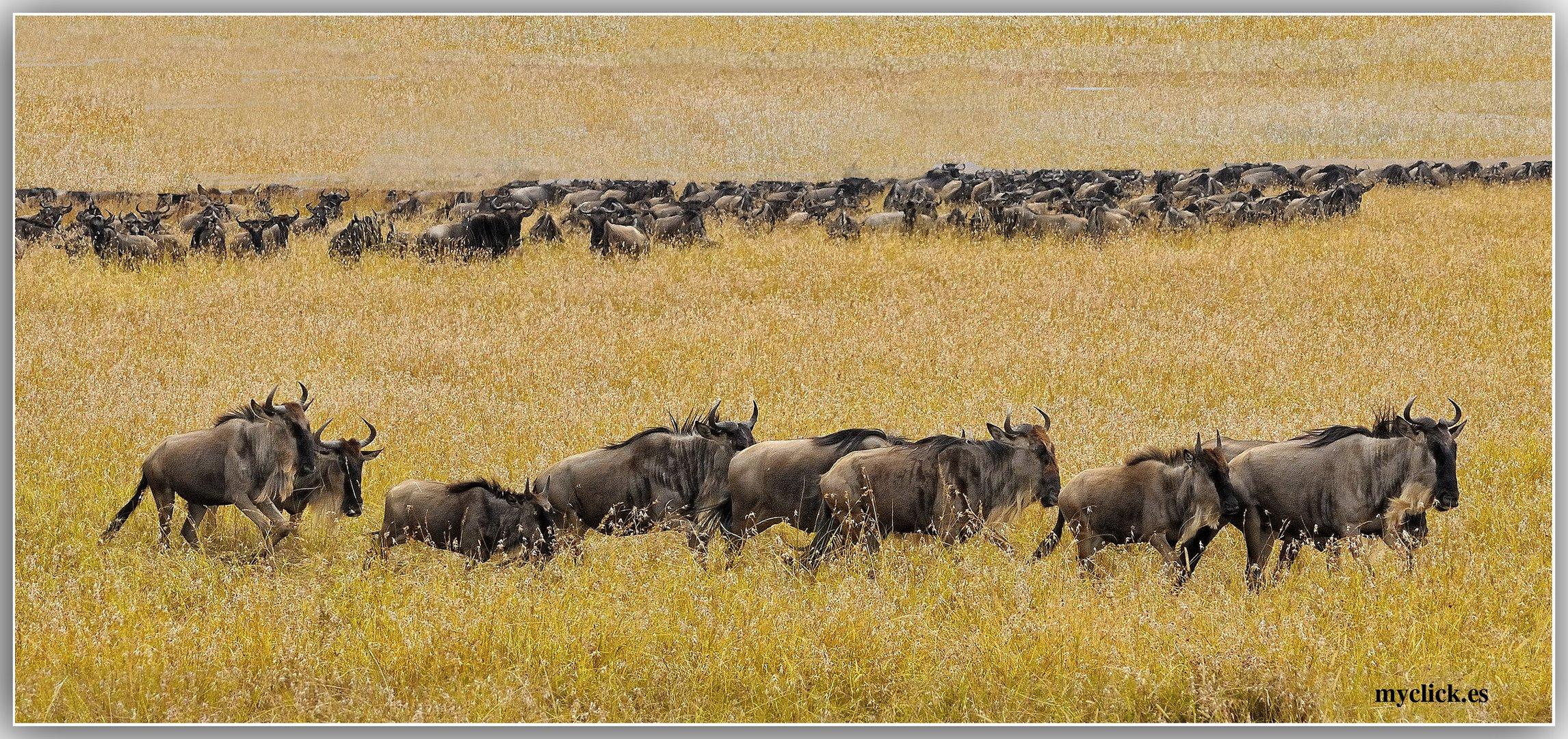 MEMORIAS DE AFRICA-ÑUS EN EL MASAI MARA-KENIA