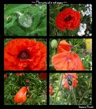 Memories if a red poppy