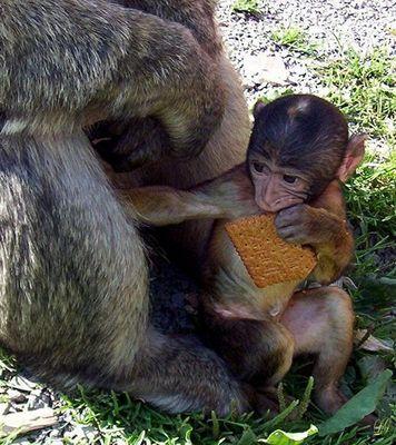 Menno... gebt den Affen doch keine Kekse!!!