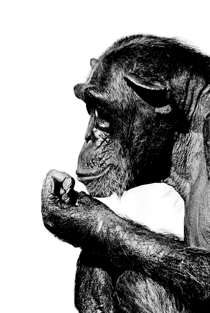 Menschen Affe 1 sw
