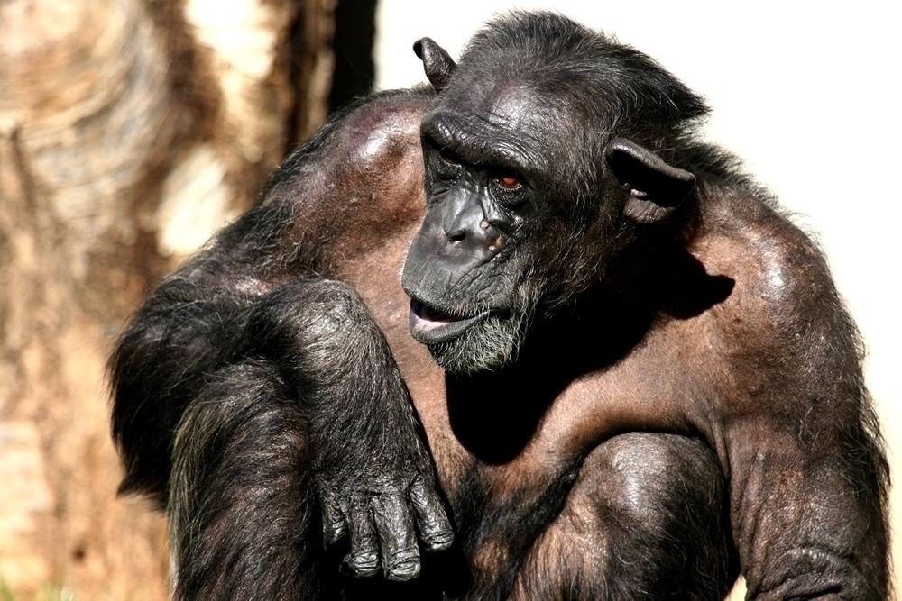 Menschen Affe 2