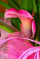 Meravigliosa calla rosa.........