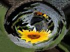 Merging Sun Flower