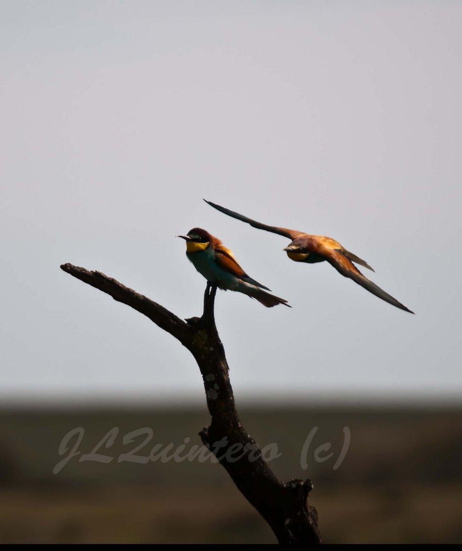 Merops apiaster (Abejaruco)