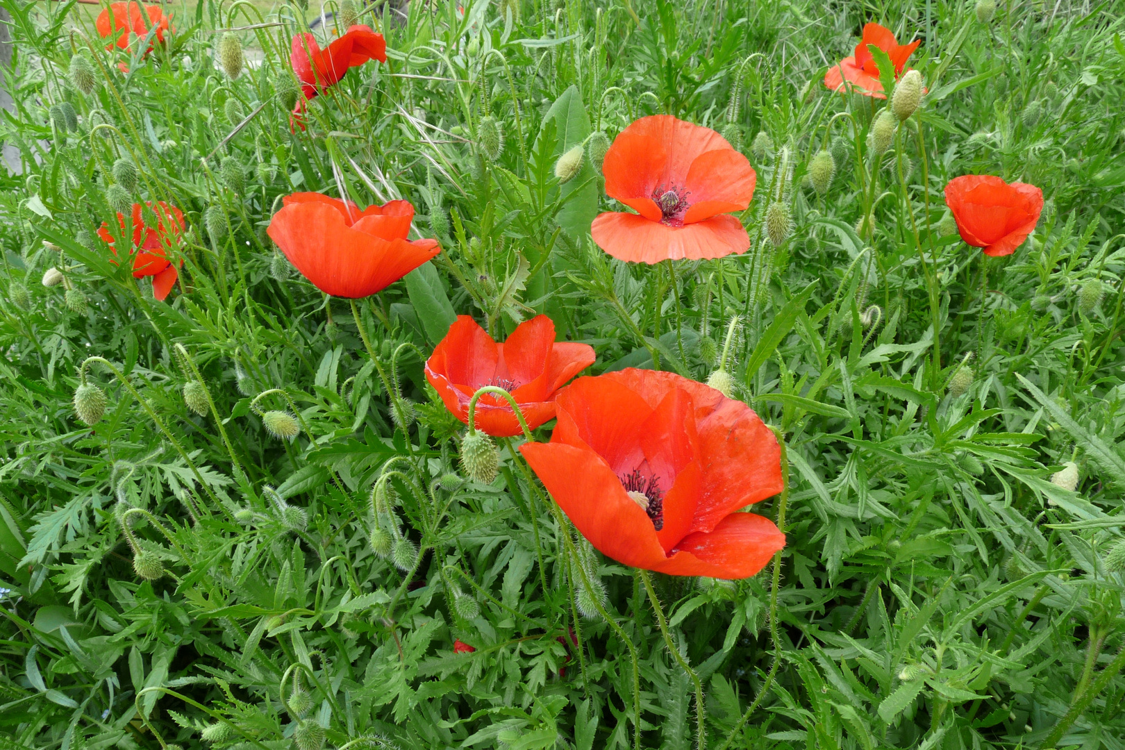 mes coquelicots