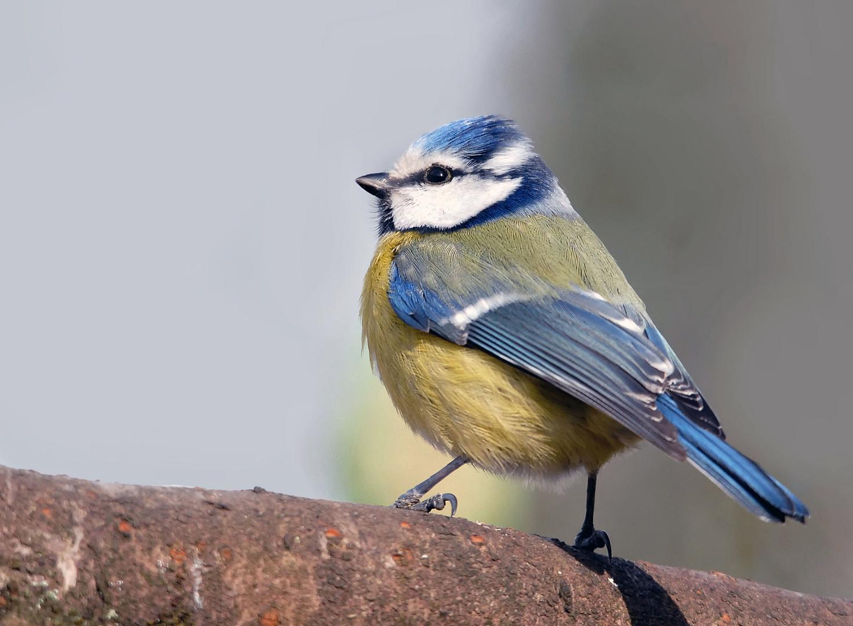 Mésange bleue (1)