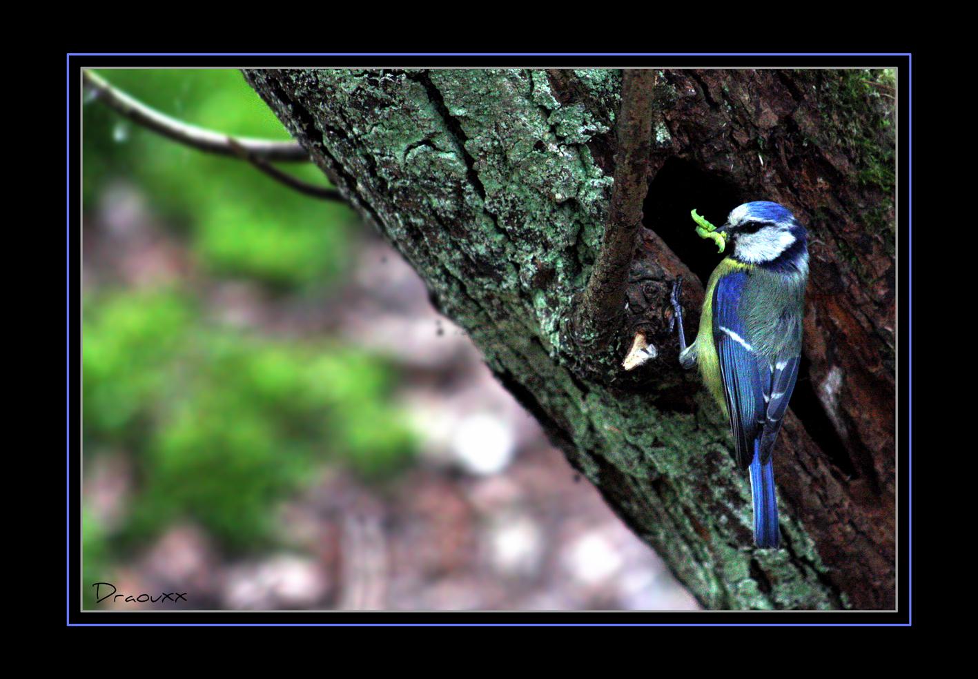 Mésange bleue 2