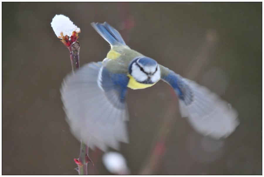 Mésange bleue au décollage