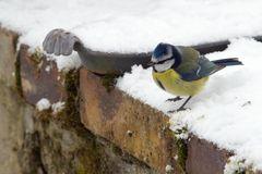Mésange bleue au sport d'hiver