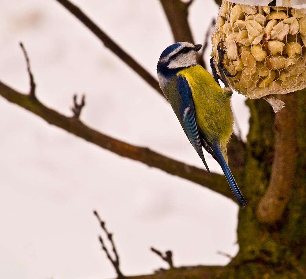 Mésange bleue - Blaumeise