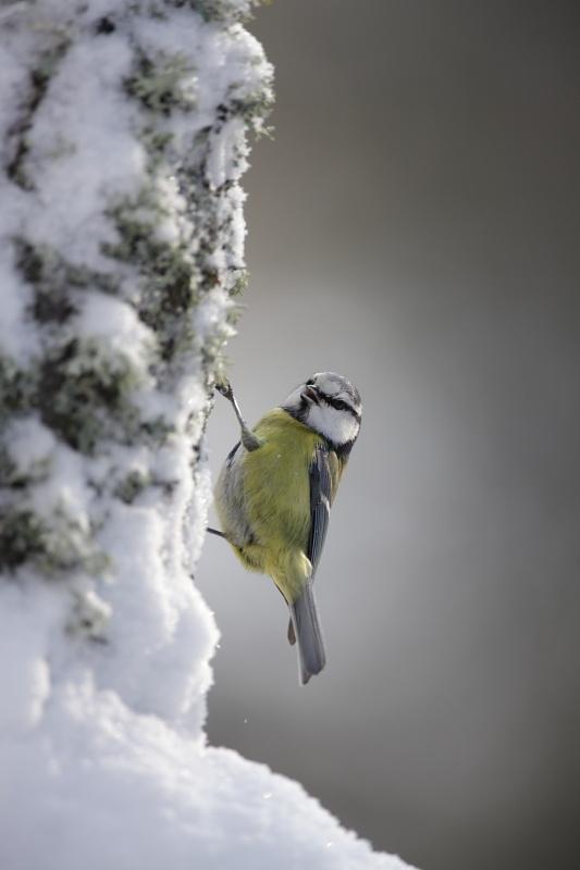 Mésange bleue en hiver