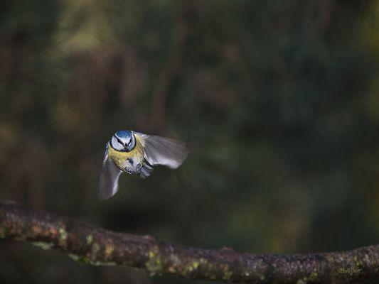 Mésange bleue en vol