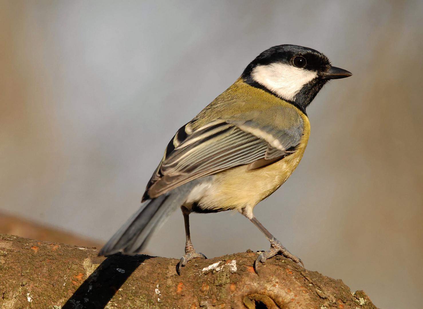 Mésange charbonnière femelle (1)