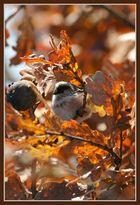 Mésange d'automne