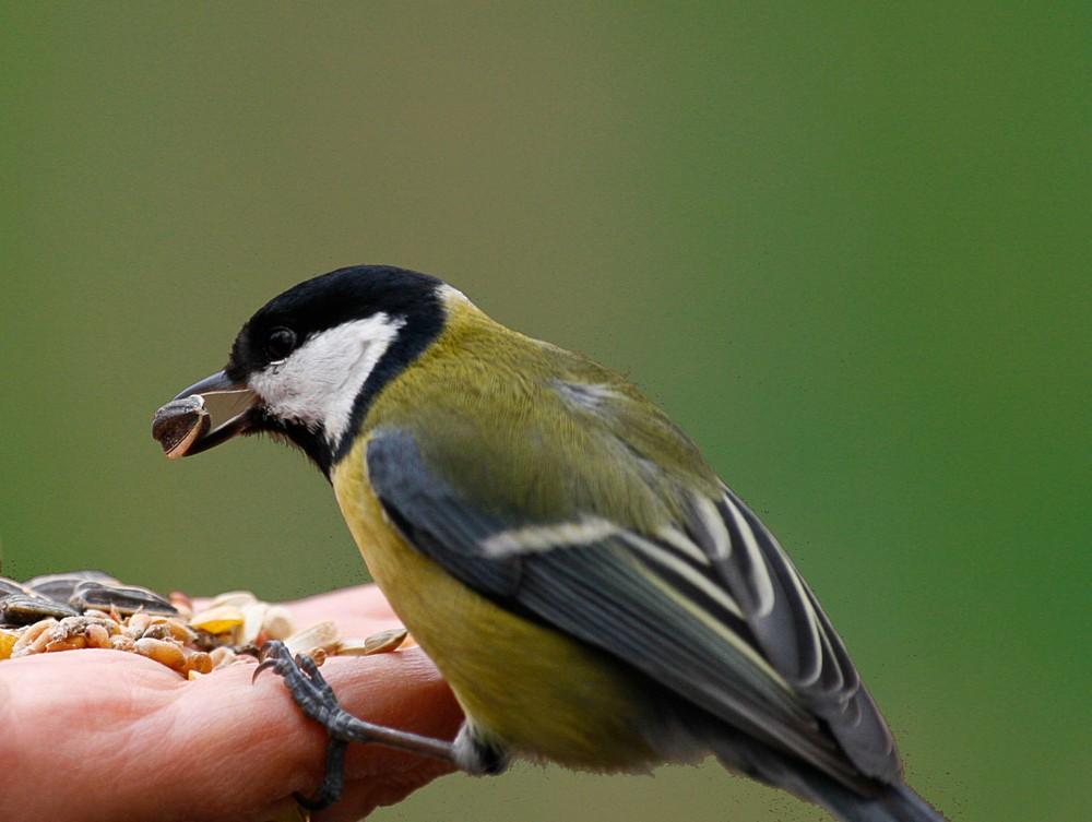 Mésange mange dans la main