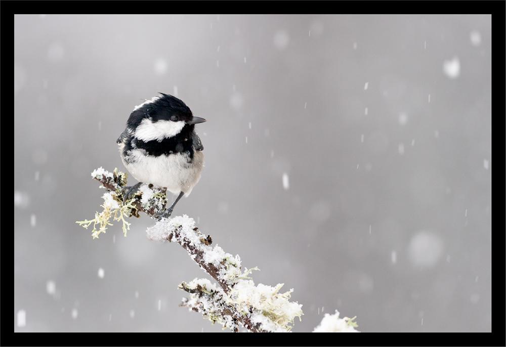 Mésange Noire en hiver...
