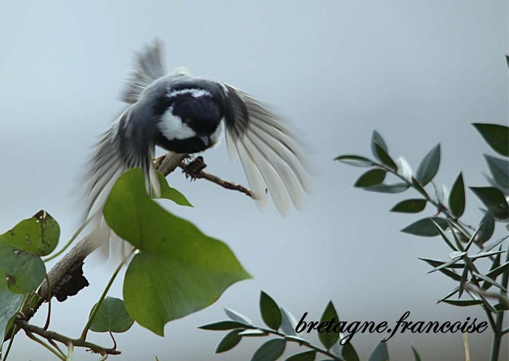mésange noire en vol