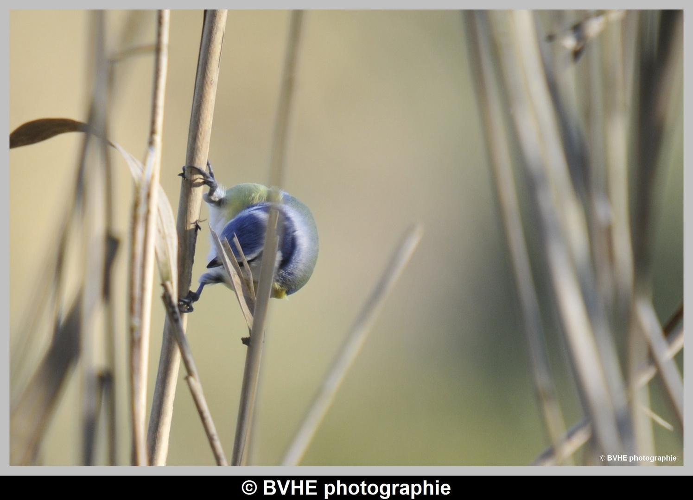 Mésanges bleu