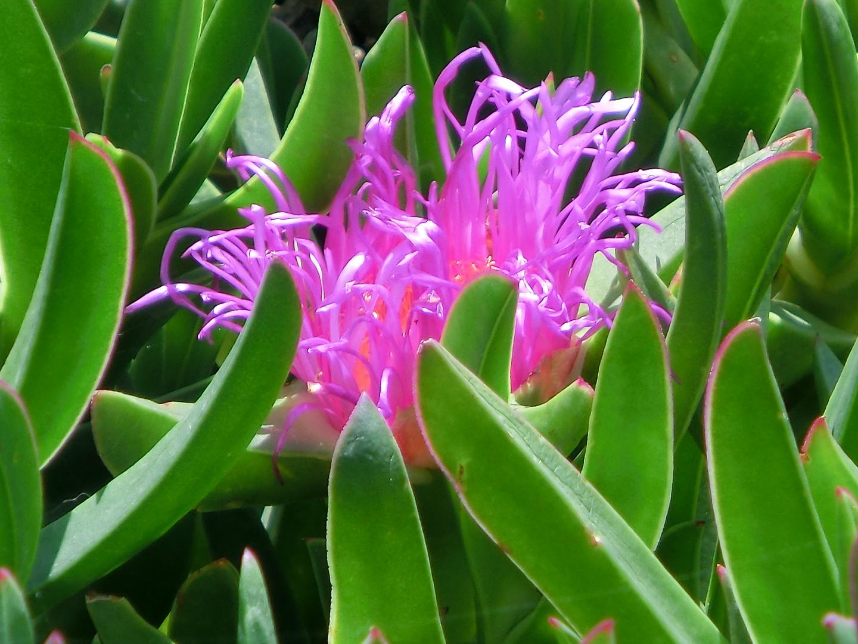 Mesembryanthemum - Türkisches Frühlingserwachen