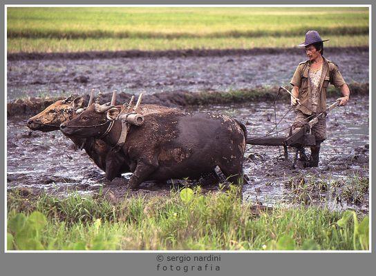 MESTIERI - Coltivazione riso in Indonesia