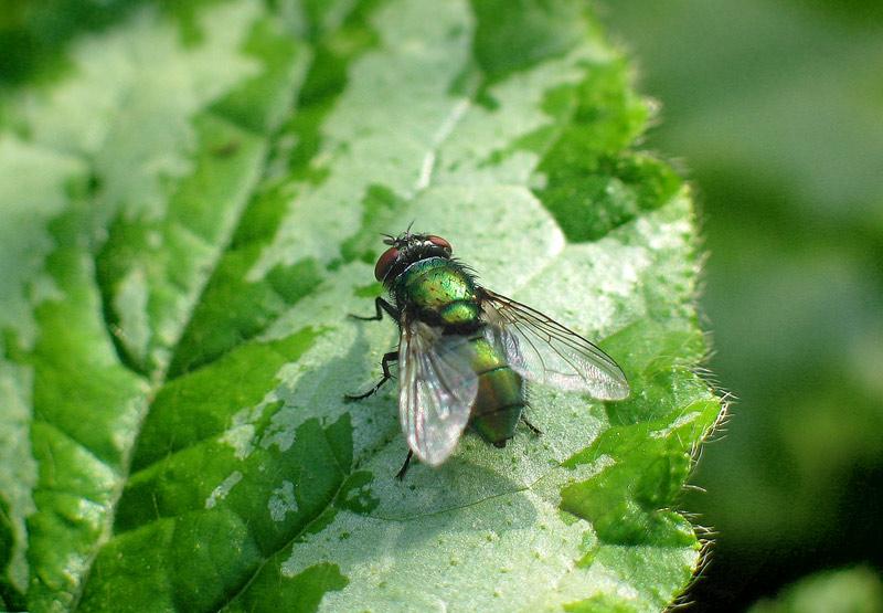 Metalic Fly