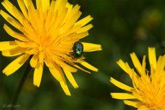 metallic grünes Käferchen