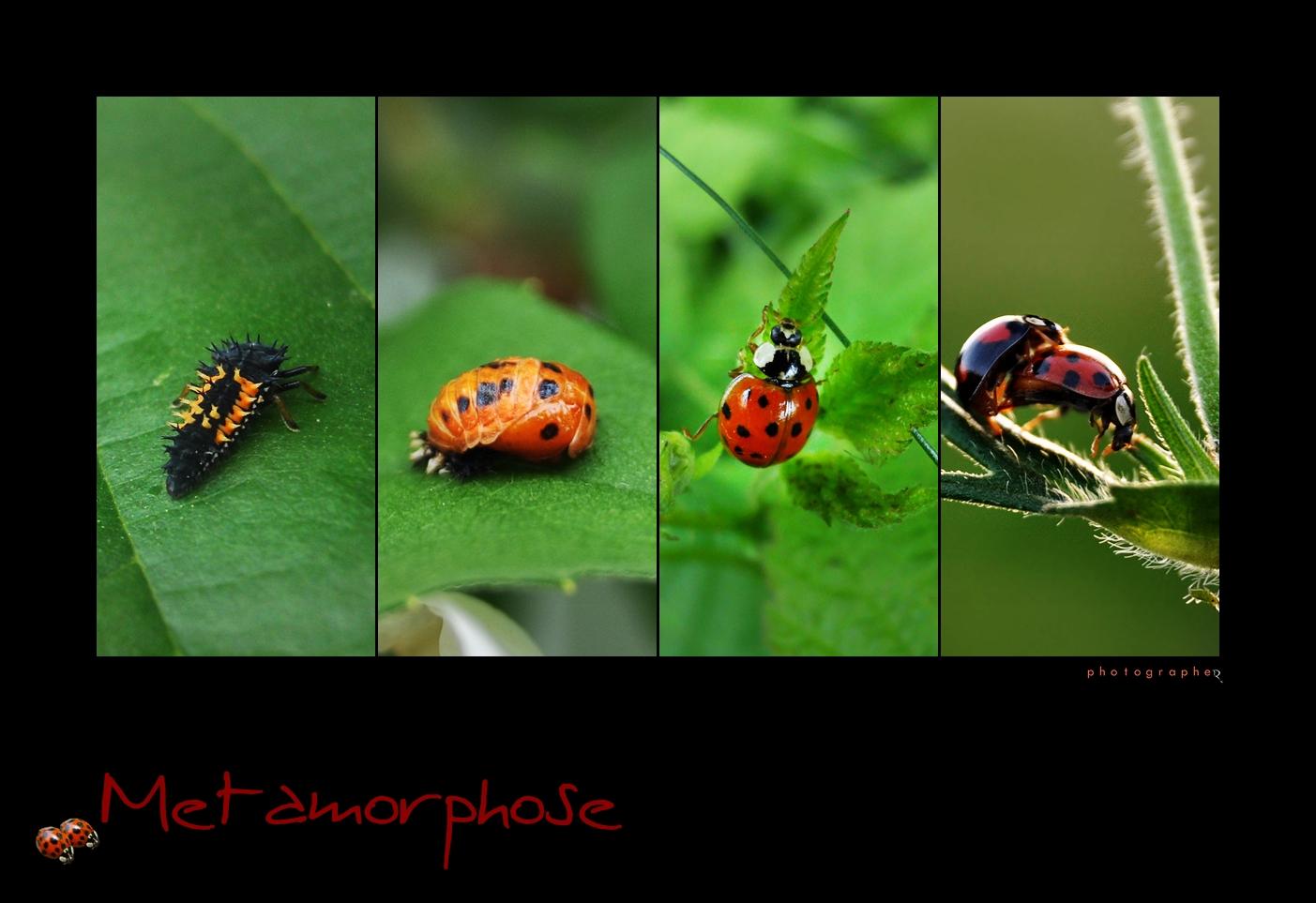metamorphose foto bild tiere wildlife insekten bilder auf fotocommunity. Black Bedroom Furniture Sets. Home Design Ideas