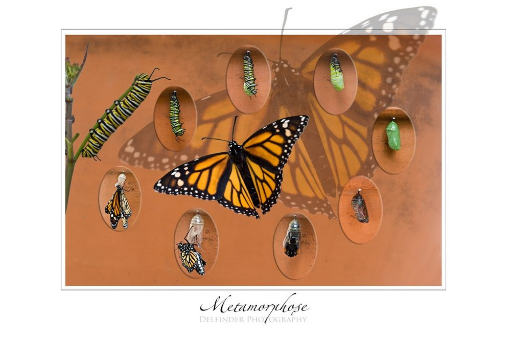Metamorphose des Monarchfalters