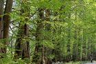 Metasequoia-Allee