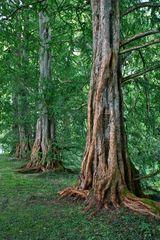 Metasequoia-Allee (Reload)