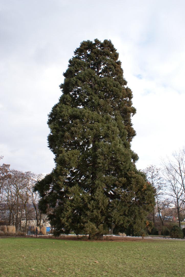 Metasequoia glyptostroboides (Urweltmammutbaum)