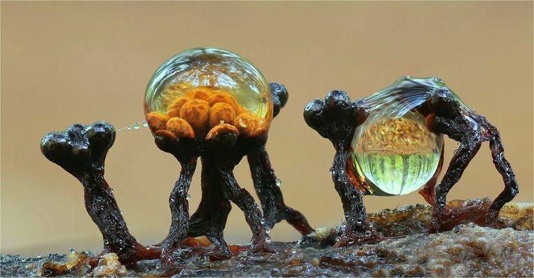 Metatrichia floriformis