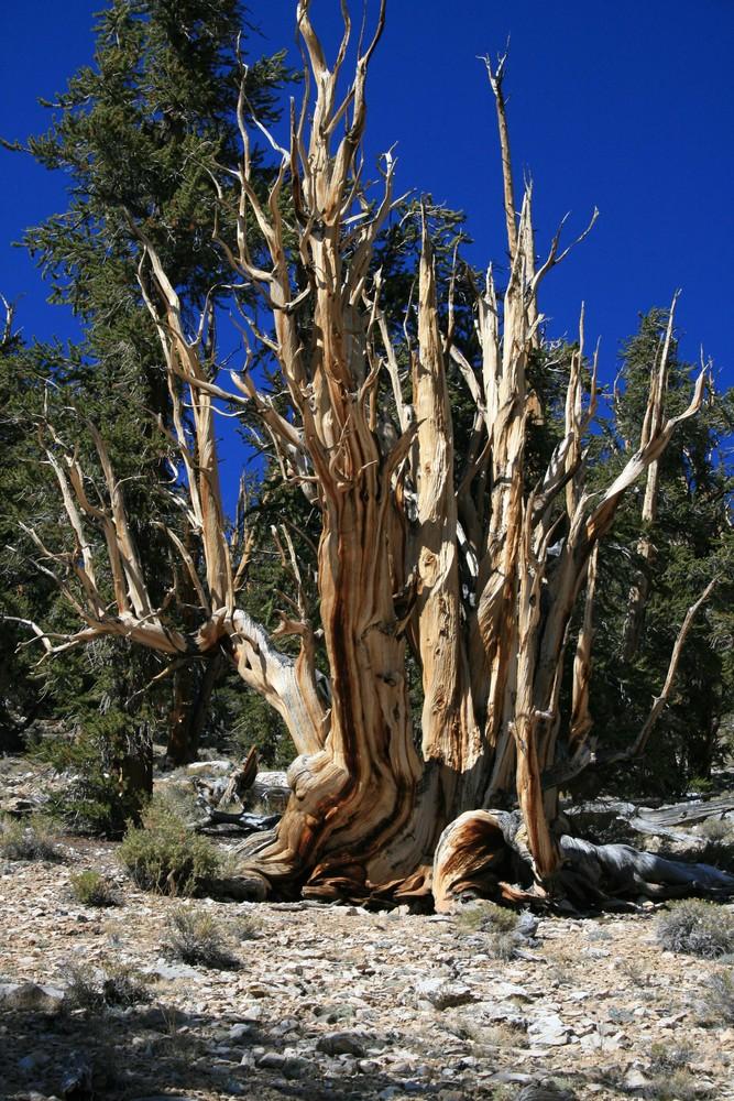 Methusalem- Geisterbaum