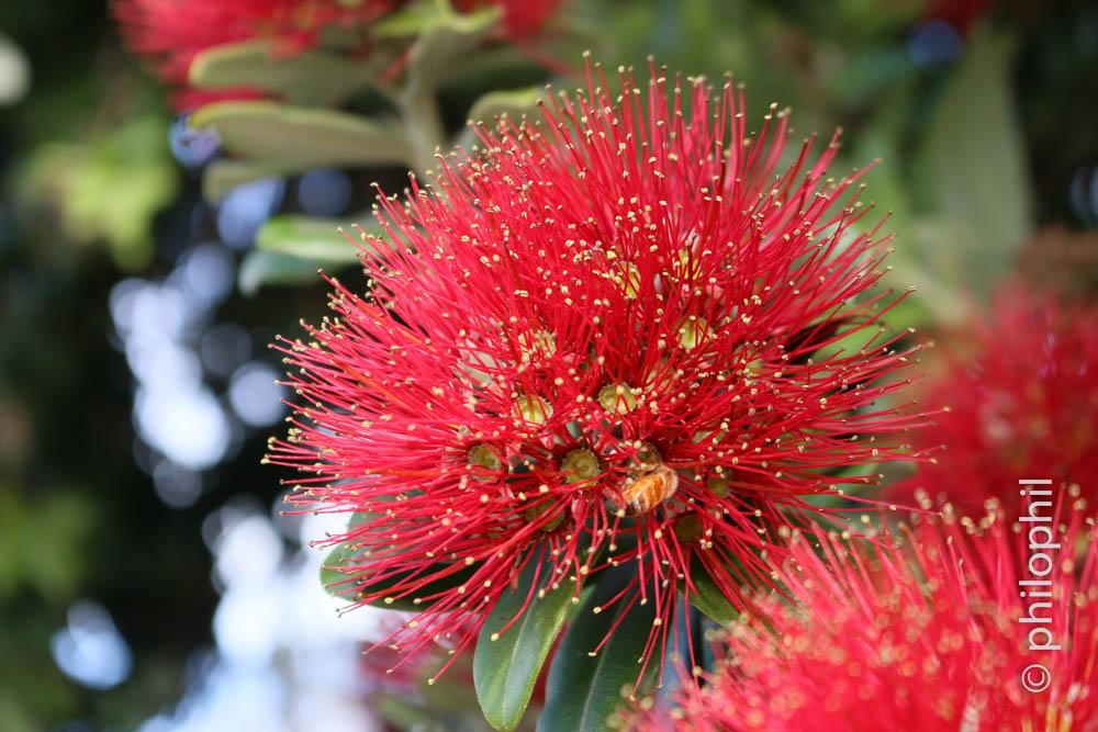 Metrosideros Excelsa / Christmas Tree (NZ)