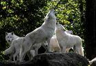 meute de loups sibériens au parc de St Croix