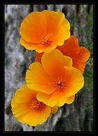 Mexican Poppies - Gefunden!